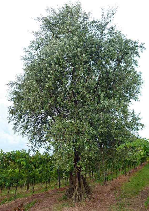 FullyWood - pianta olivo